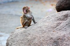 Monkey on the rock Stock Photography