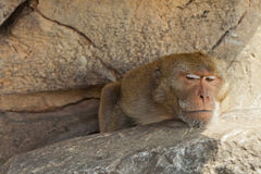 Monkey on a rock. Stock Image