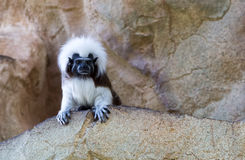 Monkey on a rock background. White and black monkey on a rock background stock image