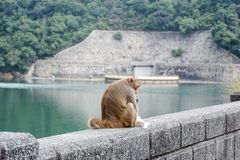 Monkey on the rock, busy with his food stock image