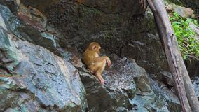The monkey on the rock drinks water. animals in the wild. the natural habitat of monkeys.  stock video