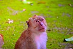 Monkey is eating a banana. Monkey is on the rock stock image