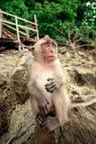 Monkey on a rock. Stock Image