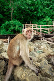 Monkey on a rock. Stock Images