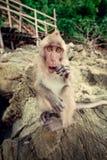 Monkey on a rock. Royalty Free Stock Photography