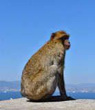 Monkey on Rock of Gibraltar Stock Photography