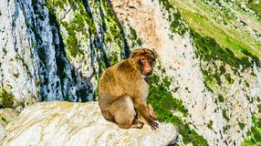 Monkey on a rock. One of the monkeys from the the population of Barbary monkeys in Gibraltar seating on a rock stock photo