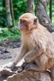 Monkey on a rock Royalty Free Stock Image