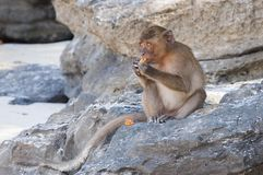 Monkeys on the beaches of Thailand. Monkey on the rocks on the beach and eat papaya Royalty Free Stock Image