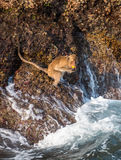 Monkey at the rocks of the Monkey island at Koh Chang, Thai Stock Image