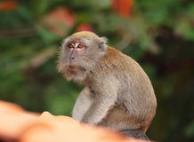 Monkey on roof. In singapore royalty free stock photo