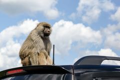 Monkey on the Roof of a Car Royalty Free Stock Image