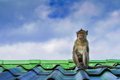 Monkey on the roof Royalty Free Stock Image