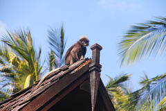 Monkey on roof Stock Images