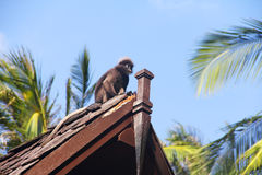 Monkey on roof Stock Image