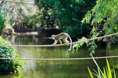 Monkey on a Rope. Monkey crossing a rope bridge over water stock image