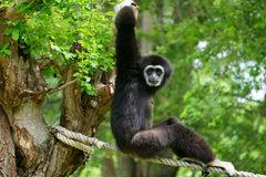 Black Monkey in Azie royalty free stock photography