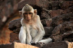 Monkey in ruined castle. A monkey leave in ruined castle , Thailand stock image