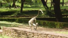 Monkey on the ruins Polonnaruwa, Sri Lanka stock footage