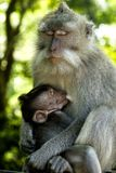 Monkey with it's child. Monkey from Bali huggin it's baby Royalty Free Stock Images