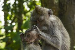 Monkey with it's child. Monkey from Bali taking care of it's baby Royalty Free Stock Photos