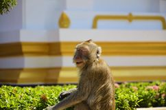 A monkey`s expression in temple area. stock image