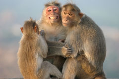 Monkey's family Stock Photography