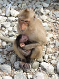 Monkey's family mother and cub Royalty Free Stock Photography