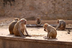 Monkey's Family Stock Images