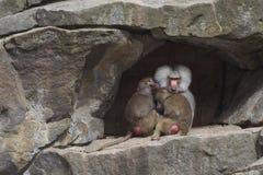 Monkey's family in the zoo Royalty Free Stock Photo