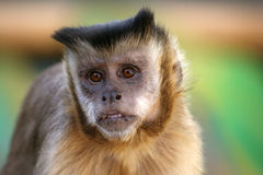 Monkey's hope Royalty Free Stock Photos