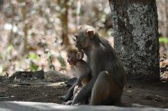 Monkey's of Mumbai Stock Photography