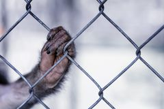 Monkey`s paw on the cage. A wild beast devoid of will. The GreenPeace concept. Monkey`s paw on the cage. A wild beast devoid of will. The GreenPeace concept Royalty Free Stock Images
