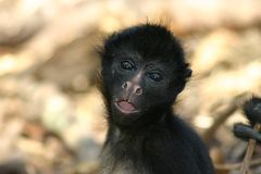 Monkey's portrait Royalty Free Stock Photos