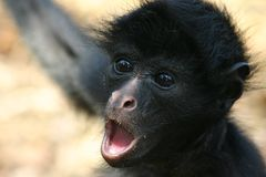 Monkey's portrait. Monkey - portrait, Oriente, Equador (Amazonia Royalty Free Stock Images