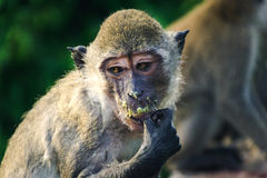 Monkey's thailand. Animal mammal light wild wildlife primate ape nature cute portrait zoo sit fur outdoor jungle macaque funny face tooth Royalty Free Stock Image