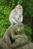 Monkey in the Sacred Forest Sanctuary, Bali, Indonesia Stock Image