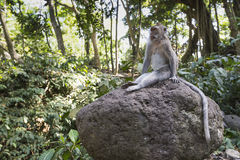 Monkey at Sacred Monkey Forest, Ubud, Bali, Indonesia Stock Photos