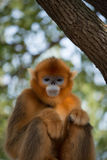Monkey in sad mood. Sichuan Golden Snub-nosed Monkey in sad mood royalty free stock images