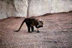 Monkey on the sand at the zoo Royalty Free Stock Photography