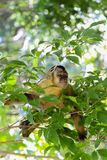 Monkey sapajus on top of tree stock photo