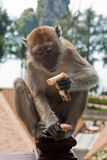 Monkey sat on Hotel Balcony Eating Stock Photography
