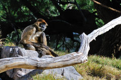 Monkey sat on rock Royalty Free Stock Photography