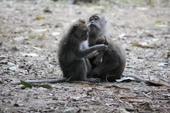 Monkey scratch another one Royalty Free Stock Images