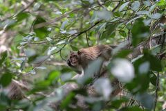 The monkey Scratch head on branch tree in nature at thailand. Scratching animal funny face wild wildlife mammal think portrait cute travel brown green hair stock photography