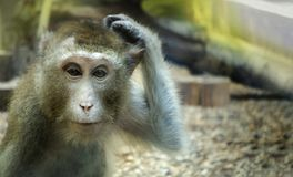 Monkey scratching his head, the animal began to think.  royalty free stock images
