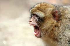 Monkey scream. Long-tailed Macaques monkey expressing herself by screaming Royalty Free Stock Photography