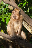 Monkey se reposer sur l'arbre Images stock