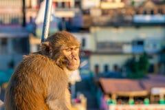 Monkey se reposer sur la barrière du pont dans Rishikesh, Uttarakhand, Inde Photos libres de droits