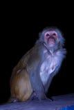 Monkey se reposer sur la barrière pendant la nuit sur un fond noir dans Rishikesh, Uttharakand, Inde Photo libre de droits